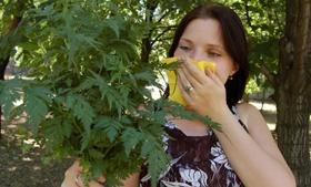 Аллергики начали задыхаться от амброзии