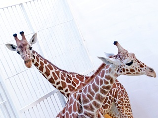 Придумайте имена бердянским жирафятам!