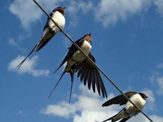 Из-за непогоды гибнут перелетные птицы – ласточки и стрижи
