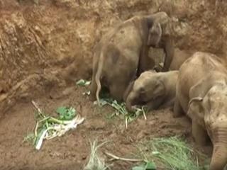 На Шри-Ланке четыре слона упали в яму