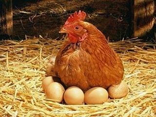 Перешли на курятину: почему мясо птицы постепенно вытесняет другие виды мяса