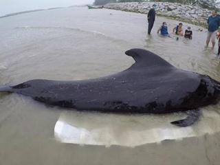 Черный дельфин наглотался пакетов и выбросился на берег Таиланда