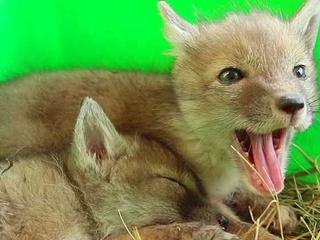 В харьковском зоопарке от новорожденных корсаков отказались родители