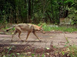 Волки из Чернобыля путешествуют по миру