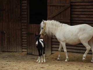 Это девочка, Карл : в украинском зоопарке родился долгожданный детеныш пони
