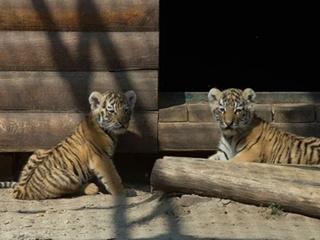 В Харькове тигровый бэби-бум
