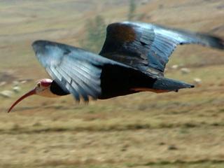 Редких птиц впервые за 400 лет вернут в Европу