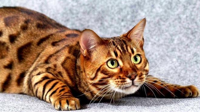 Сегодня международный день кота: эксперты составили список самых красивых пород (ФОТО)