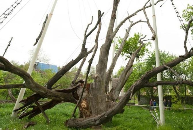 Картинки по запросу запорожский дуб