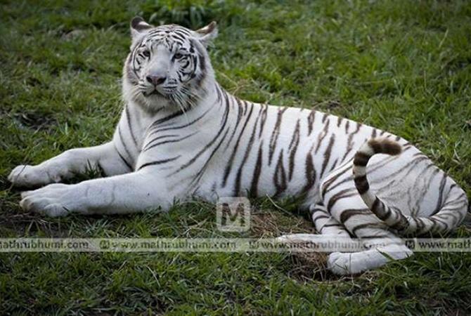ВИндии белые тигры загрызли рабочего государственного парка