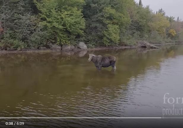 Лось отбился отнапавшего нанего волка