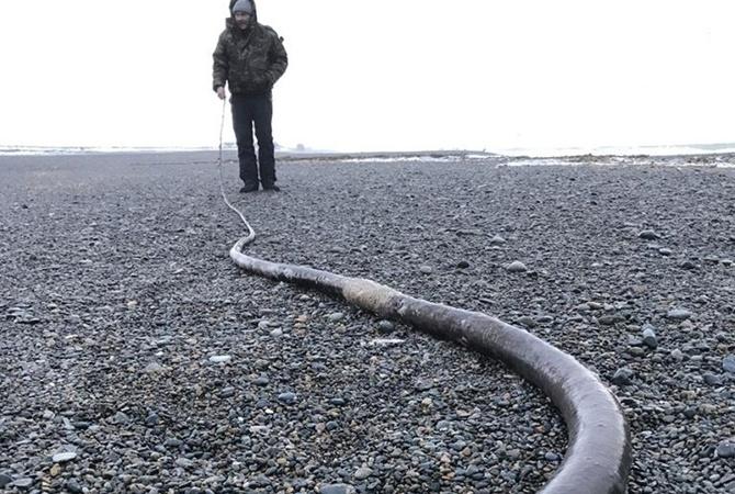 Наберег Чукотки выбросило исполинских «морских змей» изсоедененных штатов