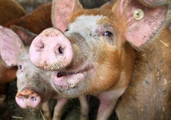 ВКиевской области зафиксирована вспышка африканской чумы свиней