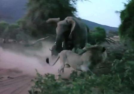 Бой слонихи сольвом задетеныша сняли навидео
