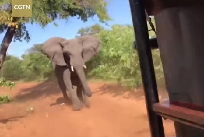 Разъяренный слон напал натуристов вовремя сафари исломал бивень