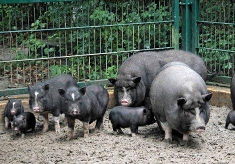 Под Николаевом домашние свиньи съели своего владельца