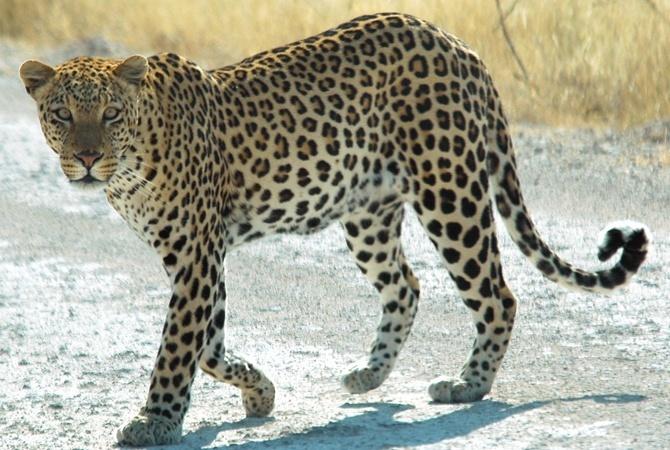 ВУганде леопард похитил ирастерзал маленького ребенка