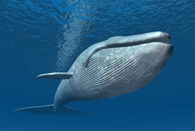 Появление синего кита вКрасном море озадачило египетских экологов