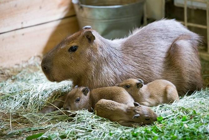 У новорожденных капибар из харьковского экопарка две мамы