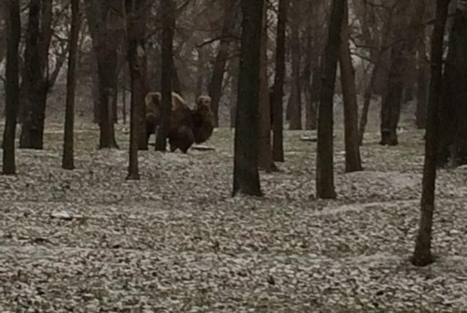 В Запорожье по заснеженному парку разгуливали верблюды