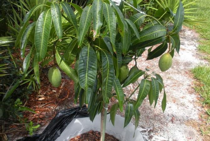 Манго из косточки: как посадить, удобрять и вырастить своими руками манговое дерево