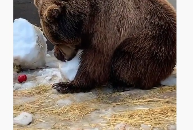 Как ребёнок: в Мелитополе медведь с радостью набросился на подаренного ему снеговика